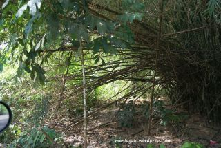 Pohon bambu raksasa, ketemu pas masuk sibohe