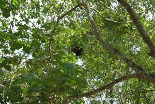 Ada sarang burung di atas pohon