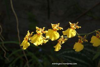 Makro bunga anggrek bulan
