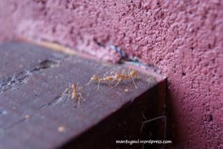 Makro semut