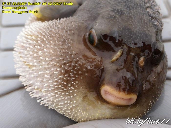 Ikan buntal