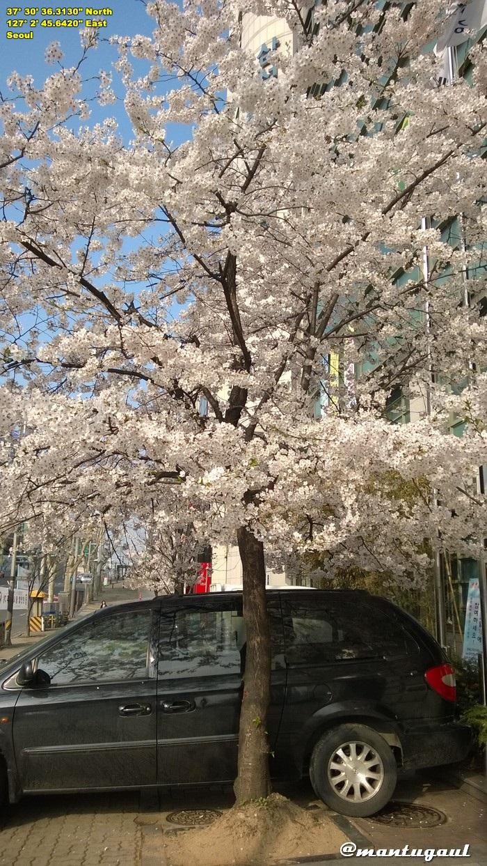 Sakura mekar