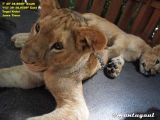 Foto bersama anak singa