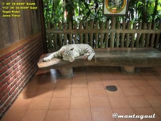 Foto berama anak harimau putih