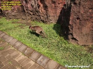 Area kangguru