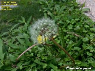 Bunga Dandelion di Telaga Sarangan